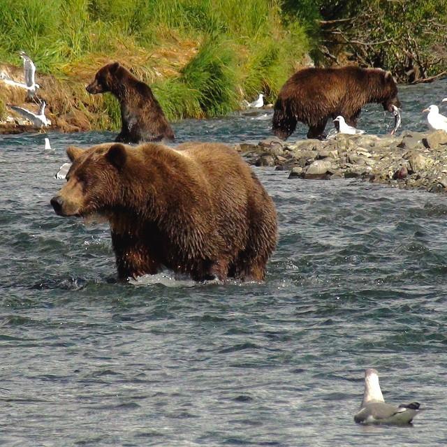 Ours de Kodiak